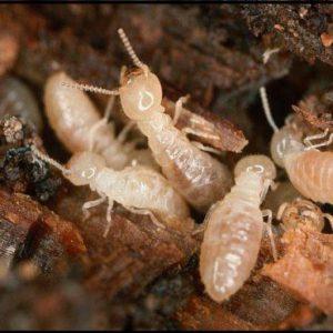 operai di termite del legno